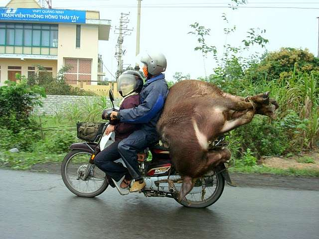 How To Ride Bike - With an Ox